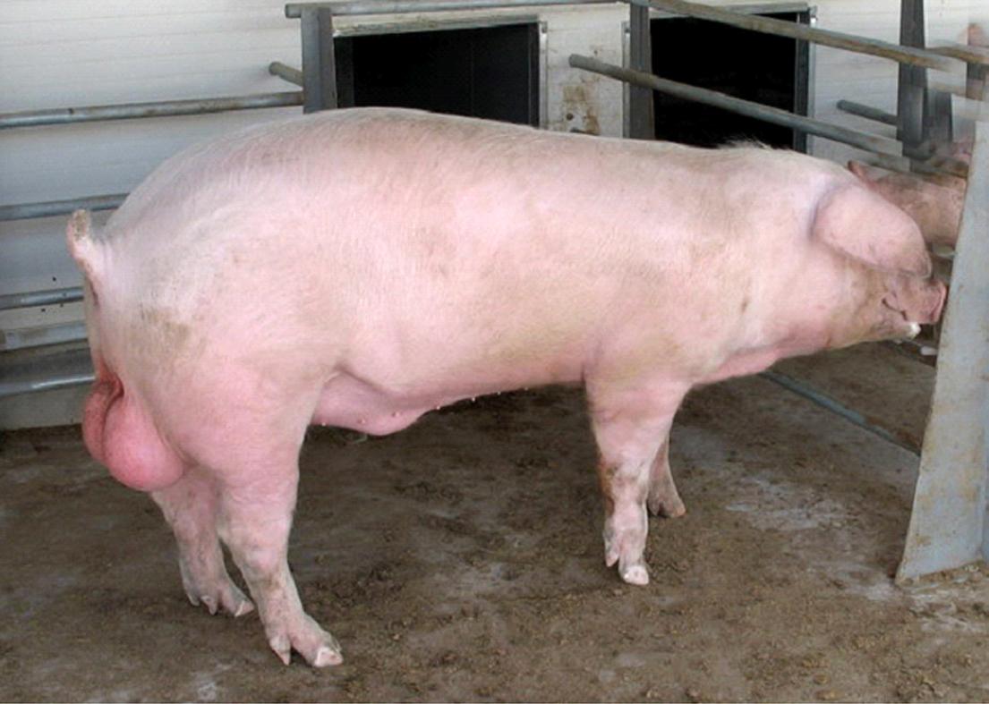 Свинной член